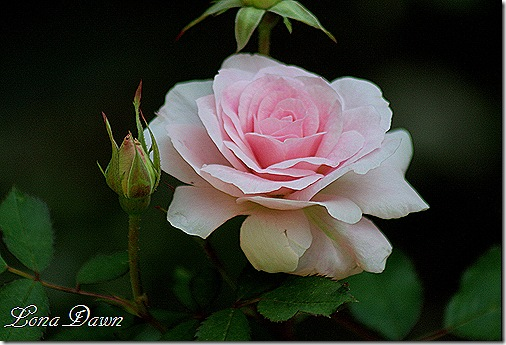 Rose_MordenBLush_May4