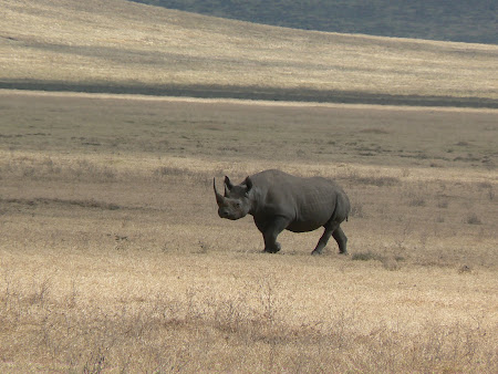 Safari: A rhino in Ngorongoro