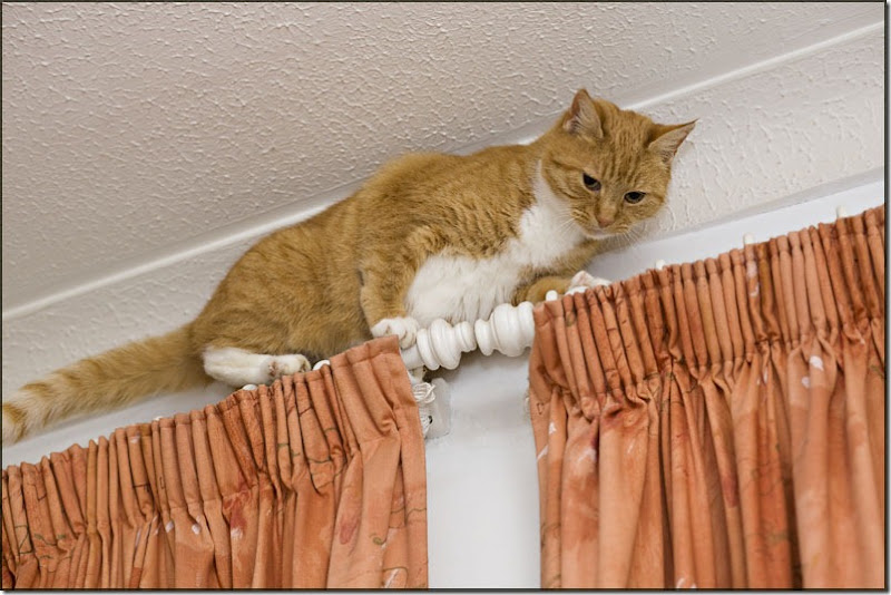 Ginger cat walking across top of curtains