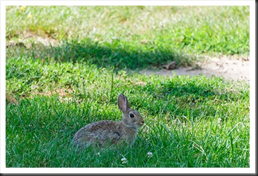 2011Jul31_Custer_State_Park_rabbit