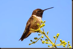 black_chinned_hummingbird_3_1_of_1