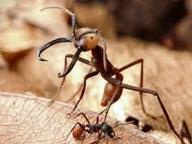 Amazing Pictures of Animals, Photo, Nature, Incredibel, Funny, Zoo, Ecitoninae, New World Army Ants, Alex (14)