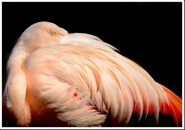 Chilean_Flamingo_0410
