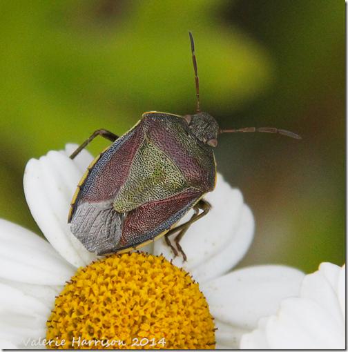Gorse-Shieldbug
