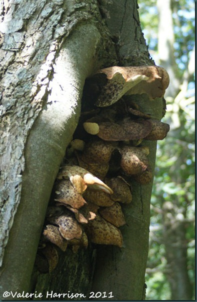 4-dryads saddle