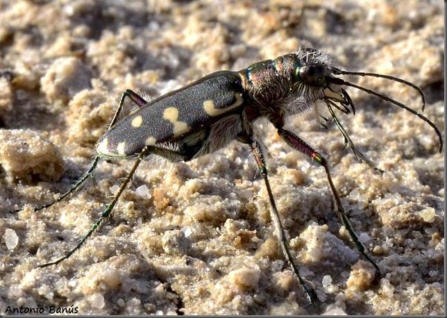 8 Escarabajo tigre _DSC3886x1