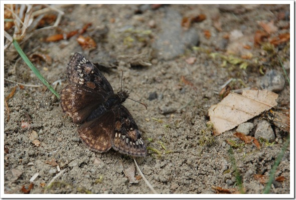 BUTTERFLY Duskywing