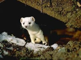 Amazing Pictures of Animals, photo, Nature, exotic, funny, incredibel, Zoo, Stoat, Mustela erminea, Alex (3)