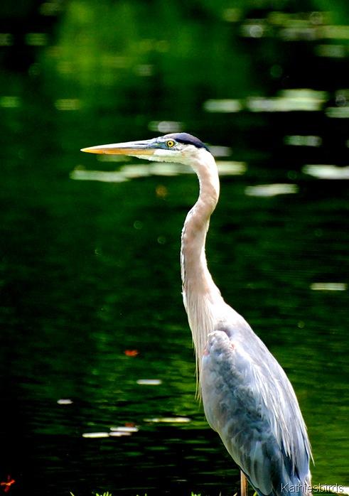1. Great Blue heron-kab