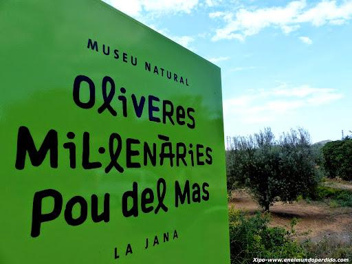 olivares-milenarios-pou-del-mas-la-jana-castellon.JPG