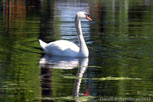 IMG_3443 Swan1