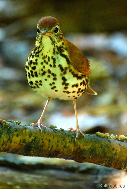 9. wood thrush-kab