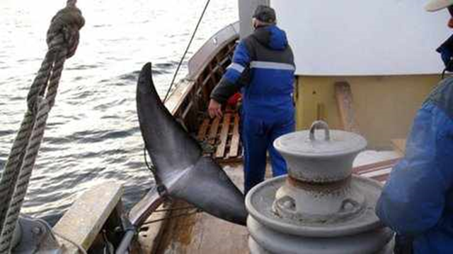 The crew of the Jan Bjorn, from Norway, haul in a slaughtered minke whale after it suffered for several minutes from a failed harpoon shot, 14 July 2013. Photo: Jo Fidgen / BBC News