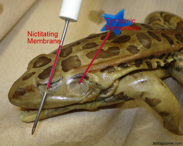 Frog Dissection, Labeled Images | The Biology Corner