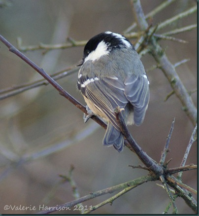 14-coaltit