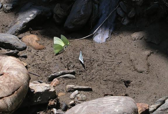 Pieridae. À gauche : Aphrissa statira statira CRAMER, 1777, mâles. Au centre : Ascia monuste LINNAEUS, 1764, mâle. Rio Broncini (alt. : 600 m), à l'ouest de Caranavi (Bolivie), 18 janvier 2004. Photo : J. F. Christensen
