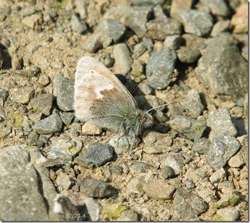 25-small-heath-butterfly