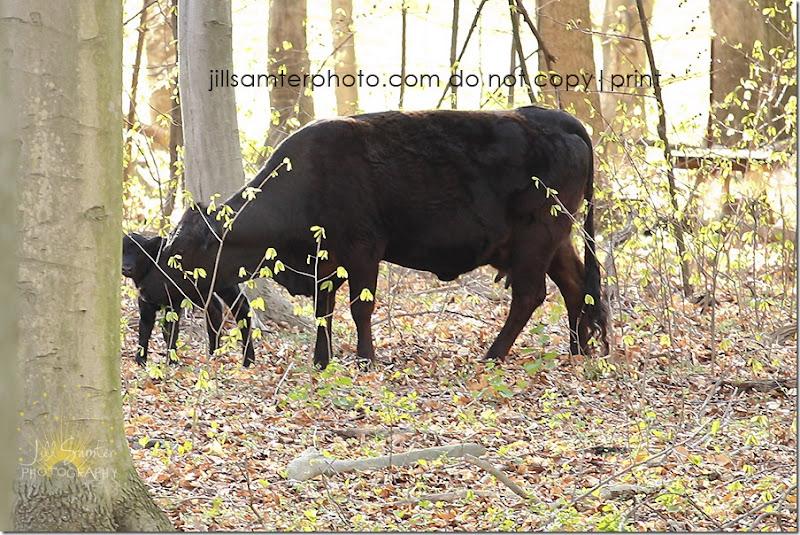 cows-6674