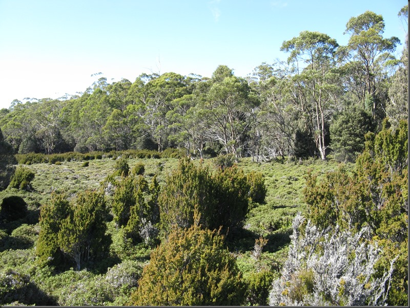 Baeckea gunniana and Eucalypts at Mannys Marsh