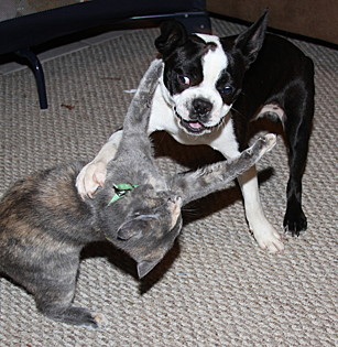 A Boston terrier mix and grey tortie at play.