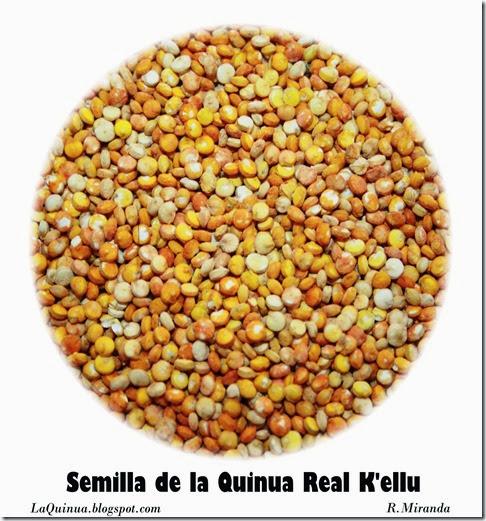 Semilla de la Quinua real variedad K'ellu-R.Miranda_Laquinua.blogspot.com