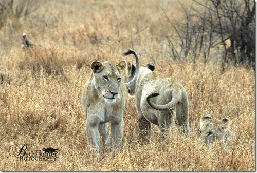cr-adolescent-lions-312-wb