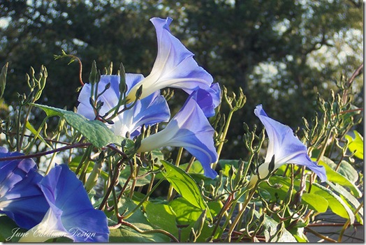Morning_Glories
