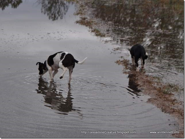 Dogs playing in puddle formed from rain