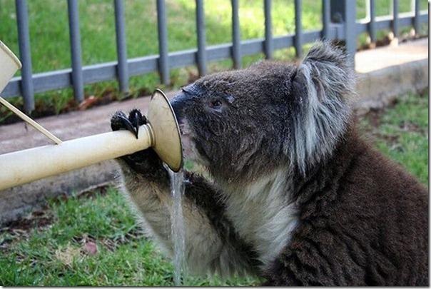 Adoraveis Koalas (1)