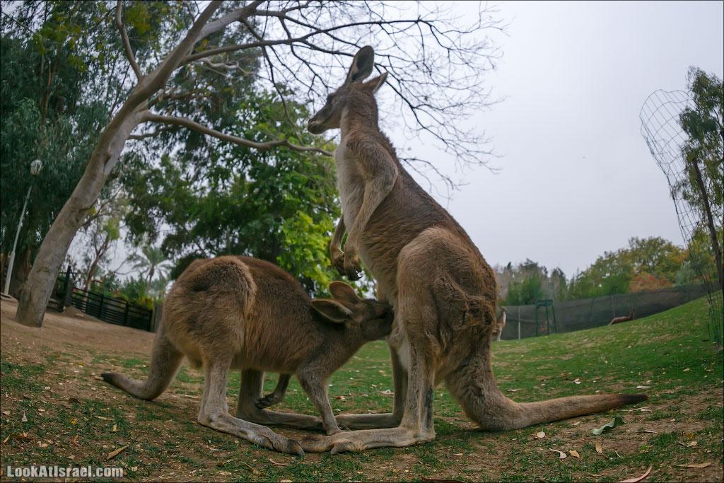 Секс у кенгуру
