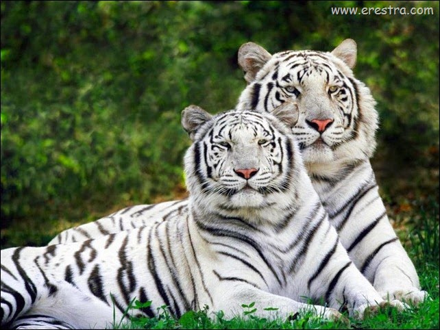 White_Bengal_Tigers