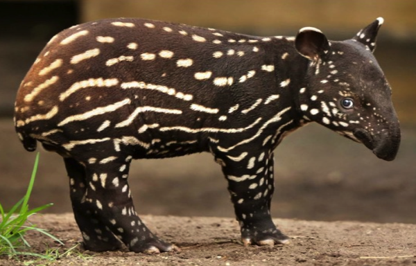 The tapir's natural home is in the jungles of South America