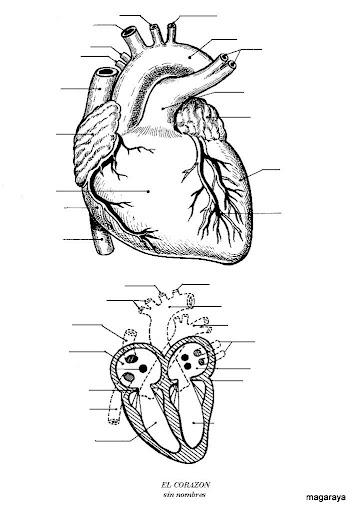 Dibujos del cuerpo humano para niños   Diario Educación