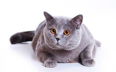 como-evitar-que-seu-gato-fique-obeso