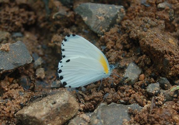 Mylothris phileris BOISDUVAL, 1833, ende?mique. Réserve d'Ankarafantsika (50 km à l'est de Majunga), 210 m d'altitude, 7 février 2011. Photo : T. Laugier