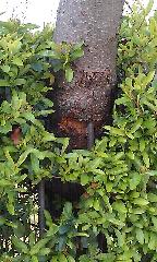 Sorbus Holmewood Gardens