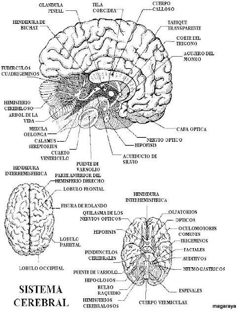 Famoso Diagrama De Cerebro Humano Adorno - Anatomía de Las ...