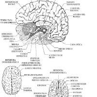 cuerpo humano el cerebro