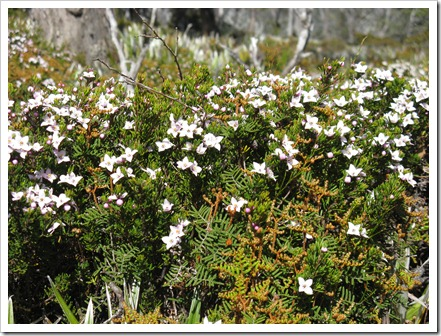 Boronia citriodora