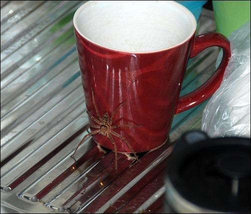 spider-brisbane-huntsman-aranha