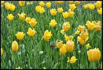 7h - Tulips