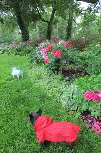 Sharkey, let's go check the herbaceous peony bed and see how they're faring in this dreadful weather.