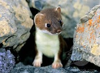 Amazing Pictures of Animals, photo, Nature, exotic, funny, incredibel, Zoo, Stoat, Mustela erminea, Alex (7)