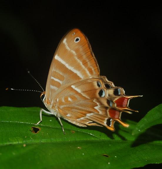 Riodinidae : Saribia tepahi BOISDUVAL, 1833, endémique. Andasibé (Périnet) (500 m), à l'est de Moramanga (Madagascar), 15 février 2011. Photo : T. Laugier