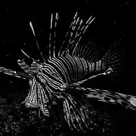 Glide by Stuart Skene - Animals Sea Creatures ( turkey fish, marine, reef, underwater, devil firefish,  )