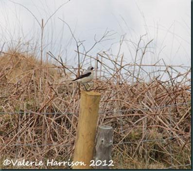 59-wheatear