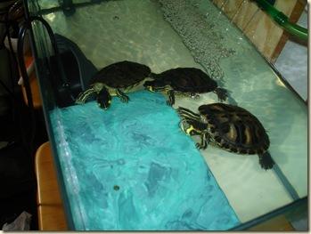 [01] Tortuguitas con sus nuevos filtros Martes - 09 -  Junio - 2009