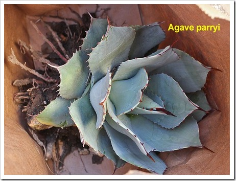111107_candy_agave_parryi