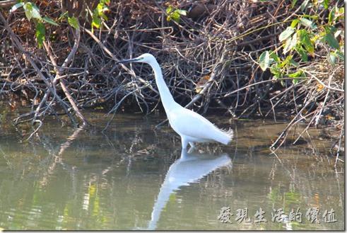 台南-四草竹筏綠色隧道(小白鷺)。在運河中有隻黑色嘴巴、黑色雙腿,但穿著滑稽黃色襪子(腳掌)的小白鷺。