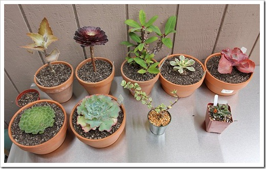 111003_plants-from-succulent-gardens_-03